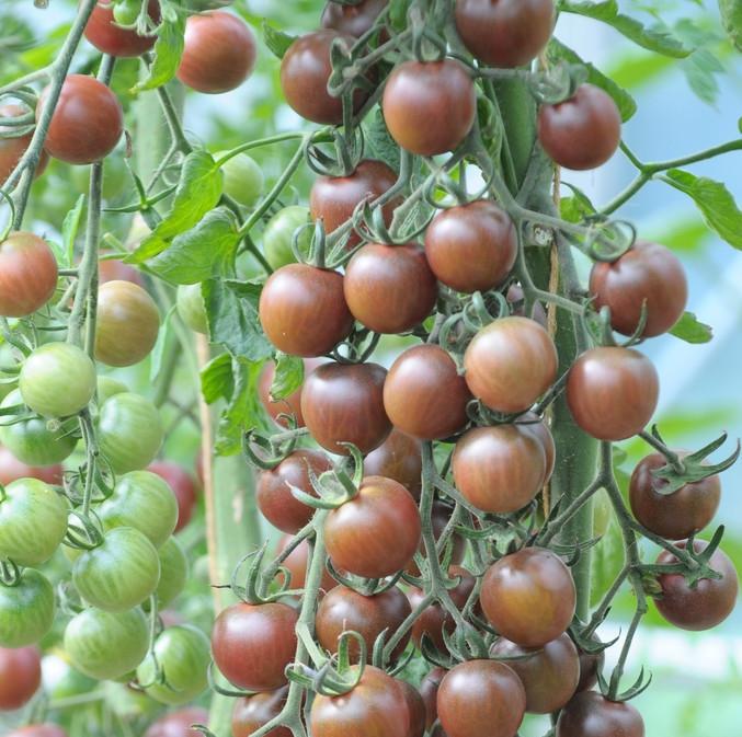 black cherry tomat