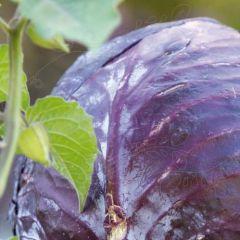 Rödkål Langedijker Bewaar 2 Organic, fröer