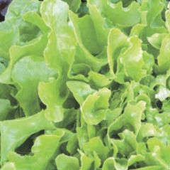 Plocksallat, Salad Bowl, fröer