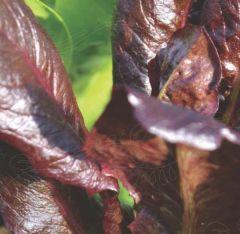 Romansallat, Intred, fröer - en rödbladig Little Gem