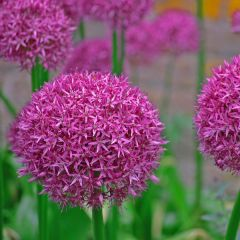 Allium Gladiator, lökar
