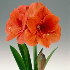 Amaryllis Orange Souvereign Galaxy