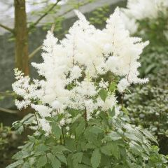 Perenner, Astilbe Rock and Roll