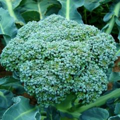 Broccoli Green Magic F1
