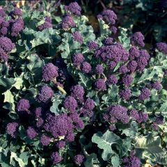 Broccoli Purple Sprouting Red (tidigare Red Spear), fröer