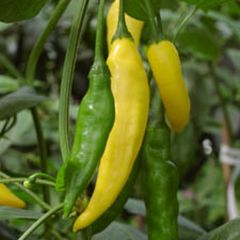 Chiliplantor, chiliplanta Hot Lemon