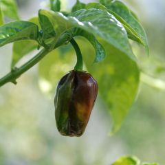 Chiliplantor, chili Chocolate Scotch Bonnet