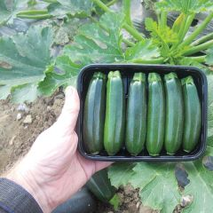 Zucchini Royal Flush, squash, fröer