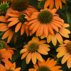 Röd rudbeckia Artisan Soft Orange (solhatt)