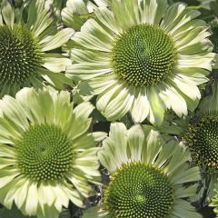 Perenner, rudbeckia Green Jewel