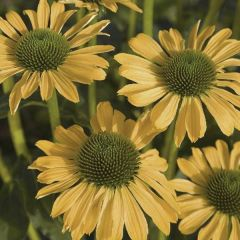 Perenner, rudbeckia Summer Passion