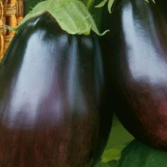 Aubergineplanta, Black Beauty