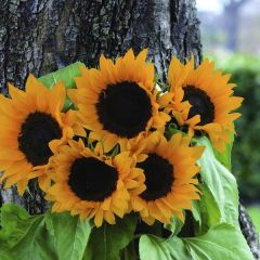 Solros Magic Orange sommarblommor