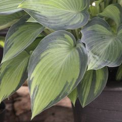 Perenner, Funkia June (Hosta)