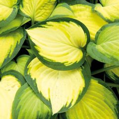 Perenner, Funkia Orange Marmalade (Hosta)