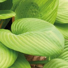 Perenner, Funkia Sum and Substance (Hosta)