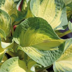 Perenner, Daggfunkia Great Expectations - Hosta sieboldiana