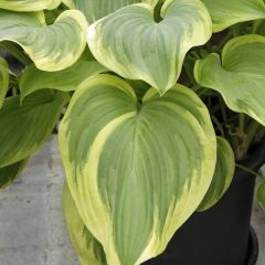 Perenner, Funkia Fragrant Bouguet (Hosta)