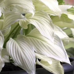 Perenner, Funkia White Feather (Hosta)