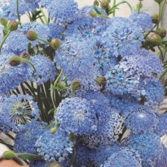 Didiscus Blue Lace perenner fröer - NYHET 2021