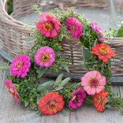 Zinnia Cut And Come Again Pastel Mixed Perenner fröer - NYHET 2022