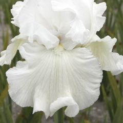 Perenner, Iris Germanica Immortality