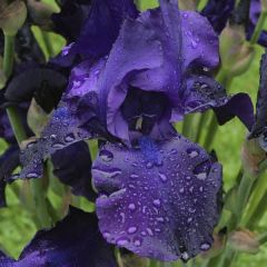 Perenner, Iris Germanica Night Owl