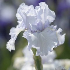 Iris Germanica, Vit
