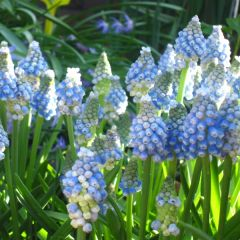 Muscari Aucheri Ocean Magic, Pärlhyacint