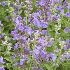 Kantnepeta Walker's Low, perenner