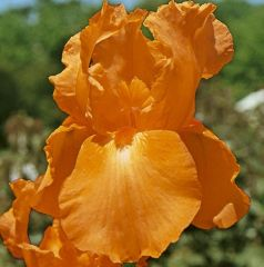 Iris Germanica Orange