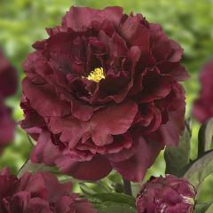 Luktpion Black Beauty, perenner
