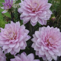 Dahlia Pink Magic, dahliaknölar