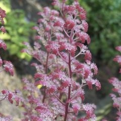 Fingerrodgersia Candy Clouds, perenner
