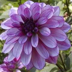 Dahlia Seduction, dahliaknölar