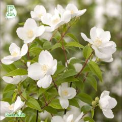 Buske, Philadelphus Orion