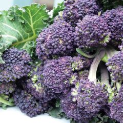 Broccoli, Summer Purple, fröer