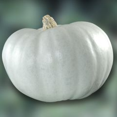 Pumpa Crown Prince, squash, fröer