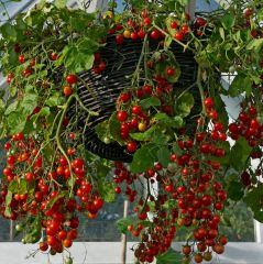 Tomatplantor, buskkörsbärstomat Hundred & Thousands