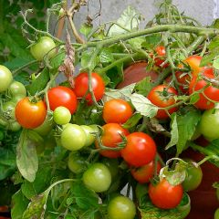 Tomatplantor, tomat Tumbling Tom Red