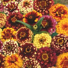 Zinnia Aztec Sunset Mix, fröer