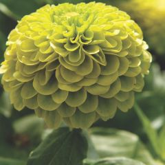 Zinnia Lime Cordial