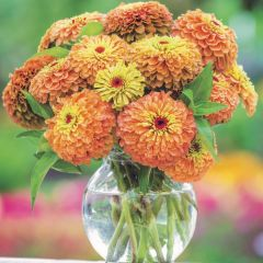 Zinnia Queen Lime Orange, fröer (Flower seeds)