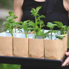 Förgroningskit för sättpotatis, Plant Starter