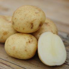 Sättpotatis Casablanca, tidig potatis