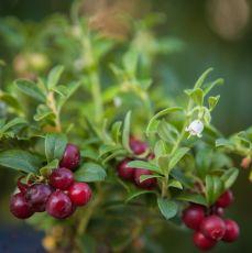 Lingon Sussi, lingonplanta, EPS-planta - större bär
