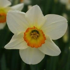 Pingstlilja, Flower Record, narcisslökar