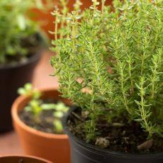 Kryddväxt, timjan, plantor