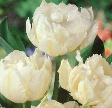 Tulpan, Mount Tacoma, sen fylld tulpan, stora tulpanlökar, vårlök, blomsterlök, lökar