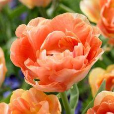 Tulpan Orange Angelique, sen fylld, tulpanlökar (12/+), vårlök